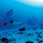display_constance-moofushi-resort-maldives-underwater-scuba-diving-manta-rays-sRGB