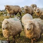 gareth-jones-sheep