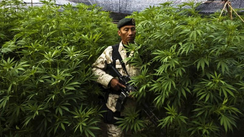 marihuána ültetvény szigor fegyelem