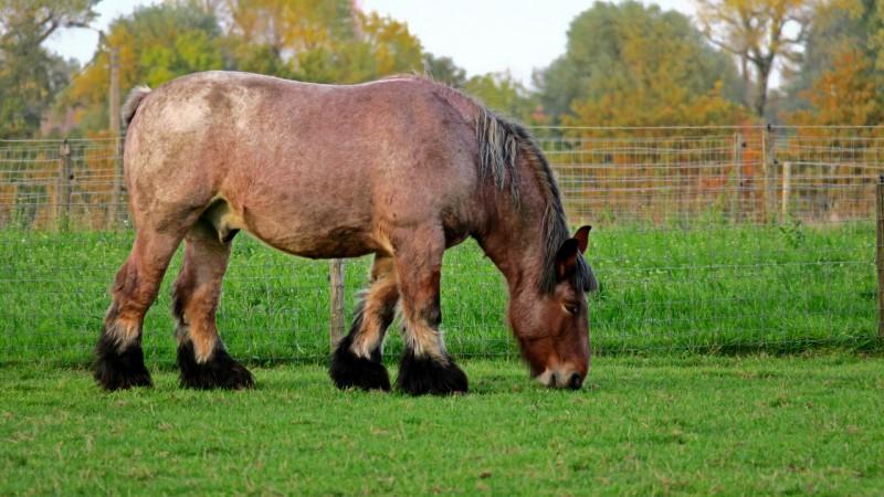 Belga brabant ló