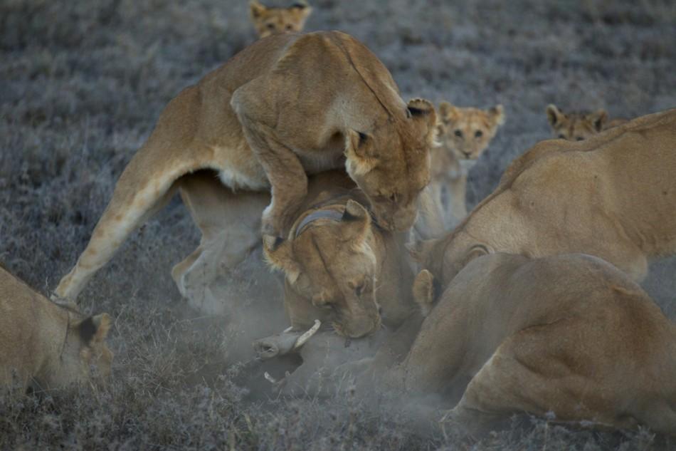 Lions-photo-by-Nick-Nichols-950×633