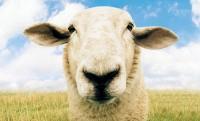 Farkastámadás esetén SMS-t küld a bárány